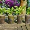 8 Важливих овочевих рослин, вирощуваних розсадою