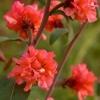 Кларкія - яскрава альтернатива рожевим бутонам