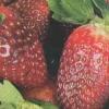 Великі сорти полуниці немає