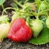 Підживлення суниці садової (полуниці): коли і чим